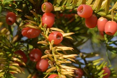 YewBerries (Tony Tooth) Tags: nikon d7100 sigma 70mm yew berries yewberries autumn november blore staffs staffordshire