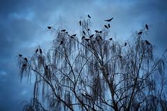 Murder (Karol Franks) Tags: murder sky kentwa washington seattle morning tree birds crows
