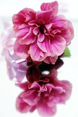 Hibiscus double avec réflexion (Christian Chene Tahiti) Tags: canon tahiti paea 6d macro reflection fleur bokeh reflet hibiscus miroir hmm dentelle flore réflexion dentelé macromonday nature closeup pink red rose rouge bunch bouquet ruban