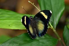 8550 (laba laba) Tags: africa gabon rainforest nature macro closeup butterfly insect ipassa research station ipassaresearchstation ivindo national park ivindonationalpark euphaedra hewisoni euphaedrahewisoni