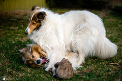 Spring collies. (pkwebbk70) Tags: morgan merlin roughcoatedcollie collie sablemerlecollie sableheadedwhitecollie dog dogs dogplay spring