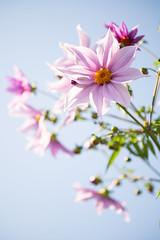 DSC00507 (Keishi Etoh rough-and-ready photoglaph) Tags: flower tamronsp90mmf2552b tamron 90mm mf manualfocuslens fixedfocallengthlens oldlens tamronadaptall2 単焦点 中望遠 sony a7riii sonya7riii 35mmfullframe ilce7rm3 sonyilce7rm3