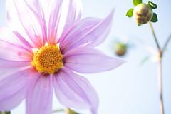 DSC00505 (Keishi Etoh rough-and-ready photoglaph) Tags: flower tamronsp90mmf2552b tamron 90mm mf manualfocuslens fixedfocallengthlens oldlens tamronadaptall2 単焦点 中望遠 sony a7riii sonya7riii 35mmfullframe ilce7rm3 sonyilce7rm3