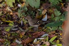 Chaffinch (female)  10 (Bill Cumming) Tags: fife kinghorn kinghornloch birdsanctuary chaffinch