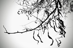 Deceptive beauty (romeos115) Tags: tree nature contrast bw twig leaves writing language words beauty
