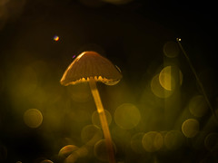 Mushroom Fairytales 2019 - Part 12 (ursulamller900) Tags: helmling mycenasp smileonsaturday letitglow mushroom pilz mygarden pentacon3530 extensiontube 12mm makroring bokeh golden glow