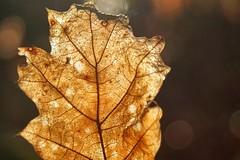 Autumn leaf glow (juanita nicholson) Tags: smileonsaturday letitglow autumn bokeh macro closeup leaf decaying backlit backlighting lines veins fall