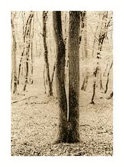 Twin Tree (Wolfgang Moersch) Tags: selectsepiavc fp4 finol mt3variotoner