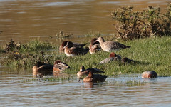 curlew and wigeon (Myrfyn) Tags: curlew wigeon