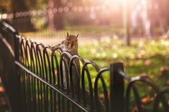 London Squirrel (Chrisnaton) Tags: squirrel eichhörnchen london park stjames'spark