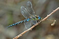 Aeshna mixta (Latreille, 1805) (ajmtster) Tags: macrofotografía macro insecto insectos invertebrados libelulas odonatos esnidos aeshnamixta aeshna dragonflies dragonfly amt macho male