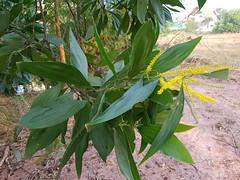 Acacia auriculiformis A.Cunn. ex Benth. Fabaceae Mimosoideae-Black Wattle, กระถินณรงค์ 4 (SierraSunrise) Tags: thailand nongkhai phonphisai flowers trees plants yellow fabaceae acacia isaan leguminosae esarn mimosoideae