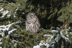 (The Transit Photographer) Tags: birds raptors owls barredowls kingston lemoinespoint snow