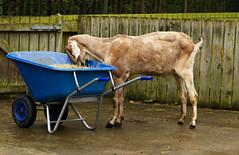 A goat enjoying his scran at Jesmond Dene  IMG_0388 (alisonhalliday) Tags: goat animal jesmonddene newcastleupontyne farmanimal blue brown canoneosrp canonefs18135mm