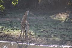 Giraffe (Rckr88) Tags: krugernationalpark southafrica kruger national park south africa giraffe giraffes animals animal water lake lakes dam dams river rivers riverbank nature naturalworld outdoors wilderness wildlife