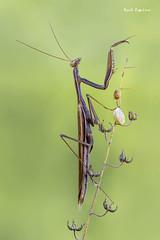 Mantis religiosa (Raul Espino) Tags: 2019 canon100mml canon6dmarkii heliconfbtube macro macrofotografia mantisreligiosa natural naturaleza sevilla insectos