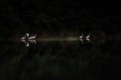 水鏡の上 #6ーOn a glassy surface of water #6 (kurumaebi) Tags: yamaguchi 秋穂 山口市 nikon d750 nature landscape birds 鳥 アオサギ サギ 反射 reflection