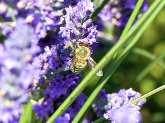 P1800991 (alainazer) Tags: valensole provence france fiori fleurs flowers lavande lavanda lavender animal abeille bee