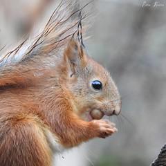 Red Squirrel (Sciurus vulgaris) (eerokiuru) Tags: redsquirrel sciurusvulgaris eichhörnchen wiewiórka écureuil scoiattolo белка orav nikoncoolpixp900 p900 animal wildlife nature eesti estonia