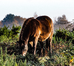 The feral ponies of Greenham Common (hussey45) Tags: ponies horses photography nature naturalbeauty naturalworld nikon coolpix