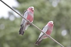 Galahs (Luke6876) Tags: galah cockatoo parrot bird animal wildlife australianwildlife nature