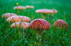 Die Welt der Pilze  (46) (berndtolksdorf1) Tags: thüringen deutschland wiese gras pilze mushrooms setas funghi fliegenpilze outdoor