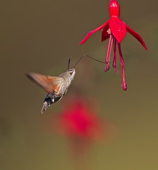 Hummingbird Hawkmoth (La_Wildlife) Tags: moth insect macro scilly inflight canon
