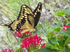 End of summer beauty (Jill I.) Tags: swallowtail butterfly nature insect flower pentas top20butterflyphotos