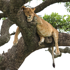 Happy Caturday! (AnyMotion) Tags: lion löwe pantheraleo lioness löwin tree baum liontree sleeping schlafend 2018 anymotion morukopjes serengeti tanzania tansania africa afrika travel reisen animal animals tiere nature natur wildlife 7d2 canoneos7dmarkii square 1600x1600 ngc npc
