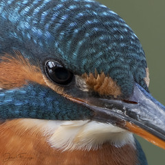 Kingfisher (f) (Mr F1) Tags: wild kingfisher alcedoatthis closeup head johnfanning small bird electricblue detail wildlife outdoors nature naturalhistory eye female