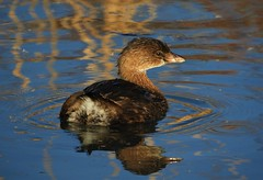Pied-Billed Grebe at Coyote Hills (Ruby 2417) Tags: grebe bird wildlife nature waterfowl brown pond water reed marsh wetland reeds wetlands fremont coyote hills bay