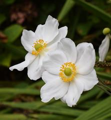 Japanese Anemone #3 (MJ Harbey) Tags: flower anemone japaneseanemone chineseanemone thimbleweed windflower eudicot ranunculaceae france brittany manoirduhilguy nikon d3300 nikond3300