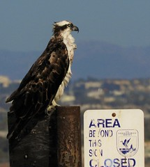 """It says the area is closed, humans!"" (Ruby 2417) Tags: osprey raptor bird wildlife nature eagle closed sign coronado marsh wetland san diego fantastic"