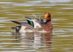 Wigeon Preening (Nigel B2010) Tags: wigeon duck bird water attenborough nottinghamshire nature wildlife countryside olympus omd em1 400f4 lake