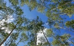 Birkenwäldchen   a small forest of birches (swordsweeper) Tags: birches birchforest sky berlin bäume wäldchen himmel wolken clouds baumkronen treetops