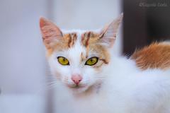 il gatto è poesia - the cat is poetry (Eugenio GV Costa) Tags: approvato gatto gatti cat cats animal animali domesrici