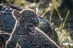 Leopard cub (andy_harris62) Tags: leopardcub cub leopard masaimaranorthernconservancy mammal animal wildlife wildlifephotography nature naturephotography outdoors outside nikond850 nikkor300mmf28 nikon safari