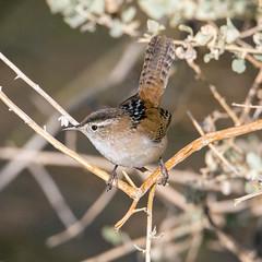 Marsh Wren (Ed Sivon) Tags: america canon nature lasvegas wildlife western wild southwest desert clarkcounty vegas flickr bird henderson nevada preserve