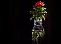 LET IT GLOW (Pepenera) Tags: letitglow smileonsaturday stilllife blackbackground black flower fiore flowers flor fotografia foto photography ph