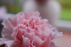 Pink Rose (martincreates) Tags: romantic rose pink flowers flora flower pretty copyright martinmcguire glasgow scotland stilllife composition beautiful beauty botanical