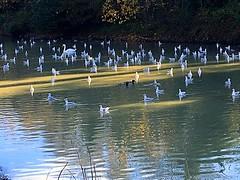 The crowd (BrooksieC) Tags: autumn belfast ireland sydenham northernireland water river waterfowl ducks gulls swan nature flock