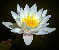 seerose - water lily (fleckchen) Tags: seerosen seerose wasser garten gartenteich teich blumen blüten blumenblüten natur pflanzen waterlily pond gardenpond
