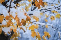 first snow #2 (Yuki (8-ballmabelleamie)) Tags: