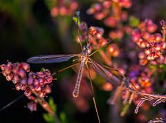 Crane fly (Roland B43) Tags: fujifilmxt2 fujinonxf80mm28macro insect cranefly tipulaoleracea