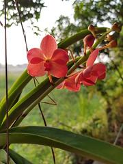 Vanda sp. Orchidaceae- orange Vanda orchid 2 (SierraSunrise) Tags: plants flowers orange orchidaceae orchids hanging epiphytes thailand phonphisai nongkhai isaan esarn vanda