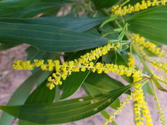 Acacia auriculiformis A.Cunn. ex Benth. Fabaceae Mimosoideae-Black Wattle, กระถินณรงค์ 3 (SierraSunrise) Tags: thailand isaan nongkhai phonphisai flowers trees plants yellow fabaceae acacia leguminosae esarn mimosoideae