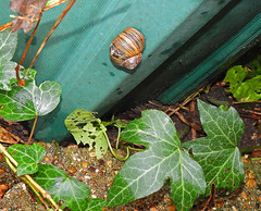 Dead or alive ... 8.11.19. (VolVal) Tags: dorset bournemouth boscombe garden snail pot november