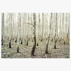 (mariuszlemiecha) Tags: superia200 fujicolorsuperia200 nikonf80 nikkor50mmf18 epsonv700 forest birchtree analog filmphotography landscape warsaw ursynow poland