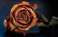 C'est fini (balese13) Tags: 100nikon 16300 d5500 istres nikonpassion paca provence tamronaf16300mmf3563dillvcpzdmacrob016 yourbestoftoday balese fleur flower nikon nikonistes orange pixelistes plante rose tamron 500v20f 1000v40f 1500v60f