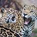 A jaguar's argument